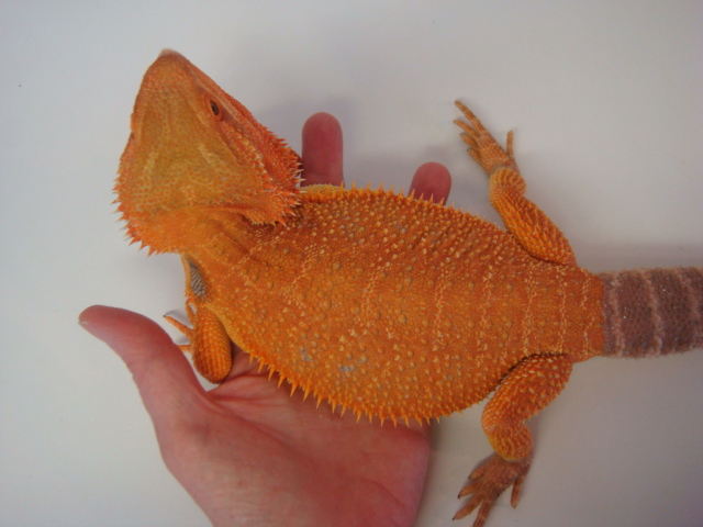 Need help id'ing and sexing • Bearded Dragon . org