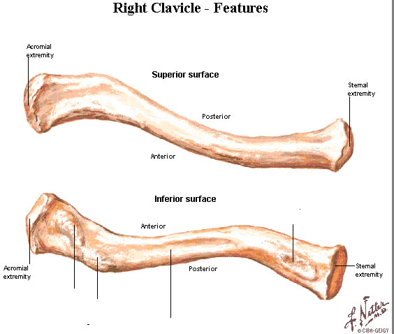 left clavicle - photo #2