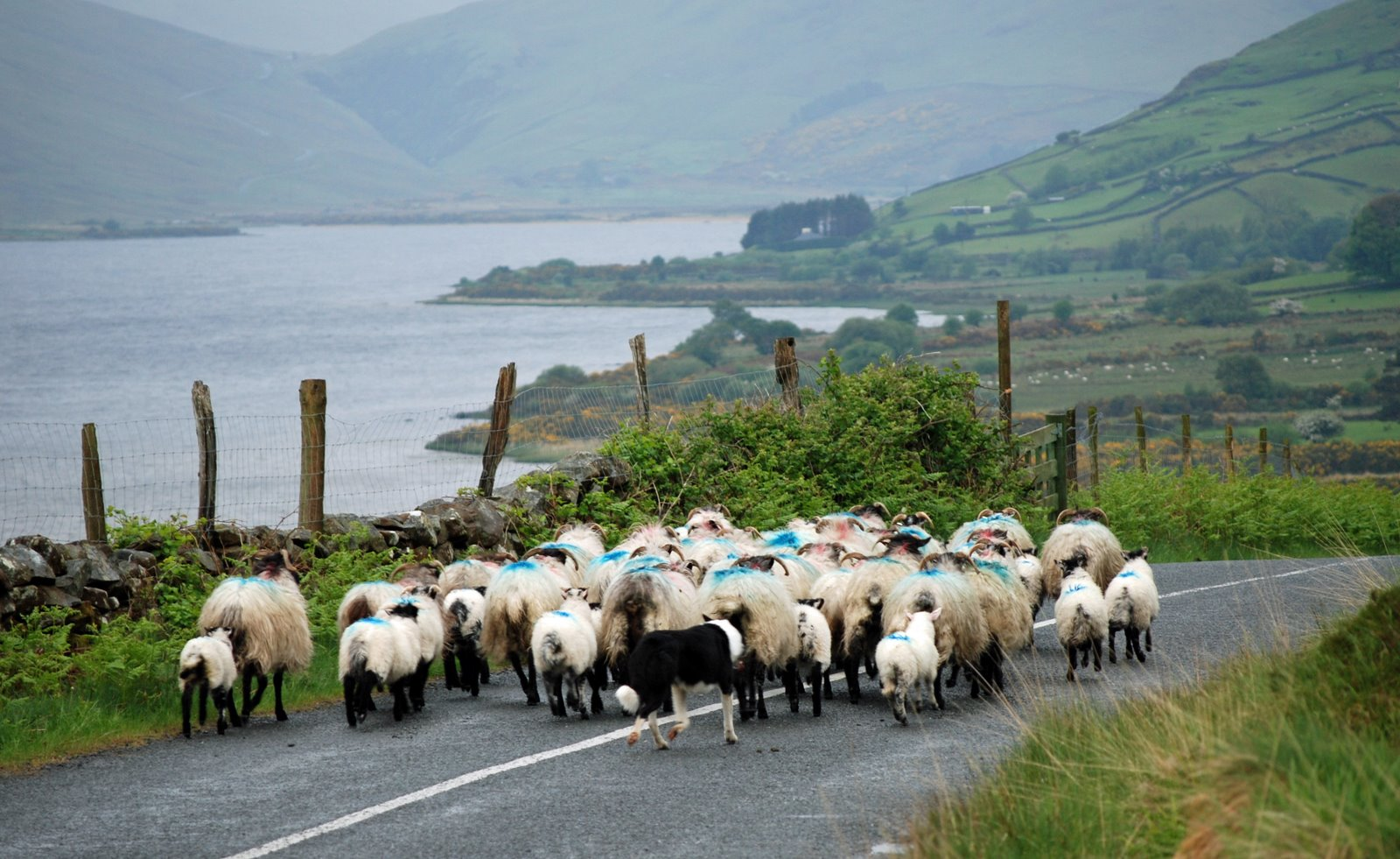 border collie, herding sheep, ireland