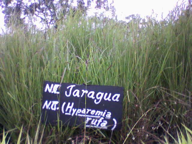Pasto Jaragua(Hyparrhenia rufa)