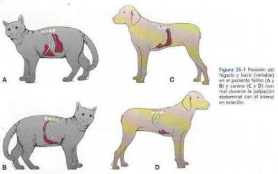 external image Higado+y+bazo+en+caninos+y+felinos.JPG
