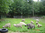 Yearling Angora & Pygora Does