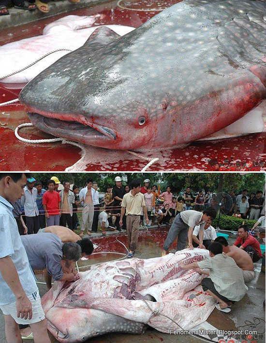 gambar binatang - foto ikan hiu makan manusia