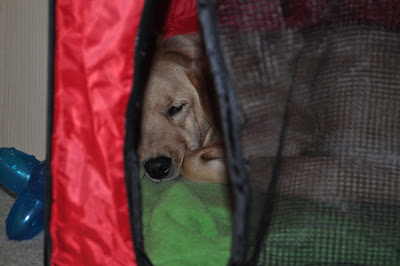 this picture is of Lola, she is in the pop up crate, the door flap is open but hanging down so you can see her face through it. The crate is red with black mesh for the little windows and door, she is sleeping on a green blanket inside.