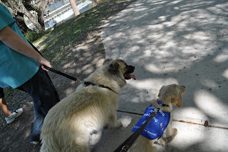 A picture from my point of view of Bob and Lazarus walking side by side, you can read Bob's puppy jacket nicely from this angle lol. Laz is a big fluffy chow mix dog that has the same color markings as a siamese cat, he has tiny little ears that sit on top of his head and the little triangles flop over to the front.