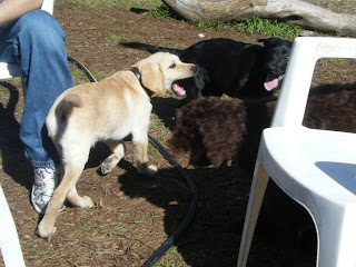 The dogs standing around our little lawn chair circle. You can see Darrells leg and parts of Celia and Alfie - You can see all of Bob and his mouth is wide open - he's probably about to bite someone lol