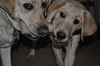 close up ofBob and Egypt, both are facing the camera and holding opposite sides of a nylabone, Egypt's eyes have connected with the camera. From the angle it looks like one of Bob's is looking at Egypt and one's is looking at the Camera.