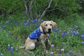 Bob sitting in the same bluebonnets from before with a tree behind him, his mouth is open in a pant.