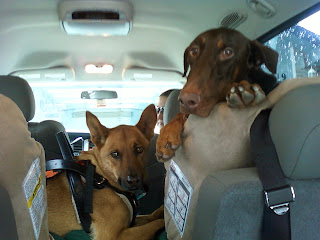 Picture of Storm and Rex in the back of Dana's car - she took the picture from the rear so the dogs are looking back towards her and Rex has his paws and face over the top of one of the kids' car seats. Rebecca is sitting front passenger and is in the process of turning around.