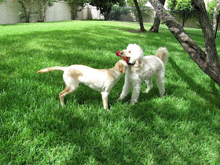 Bob and big white labradoodle Mason playing with a red frisbee in a backyard
