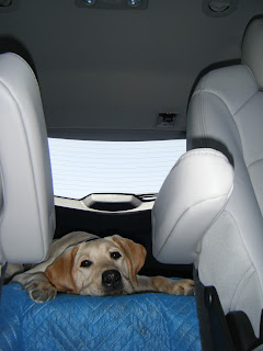 Bob laying in the back of the car - he looks a bit depressed