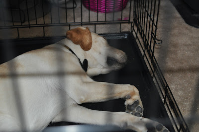 Bob sleeping in his crate, the door open right next to him.