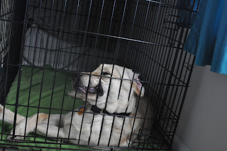 Bob laying in his crate with his head resting sideways on the door of it. His skin is coming through the little grates and his lip is being pulled up so his teeth are showing a bit.