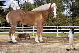 kuda terbesar di dunia
