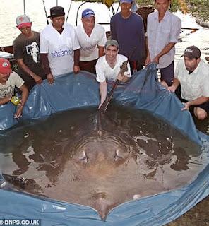 ikan pari terbesar di dunia