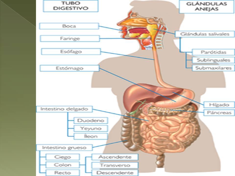 Anatomía y Fisiología humana: APARATO DIGESTIVO.
