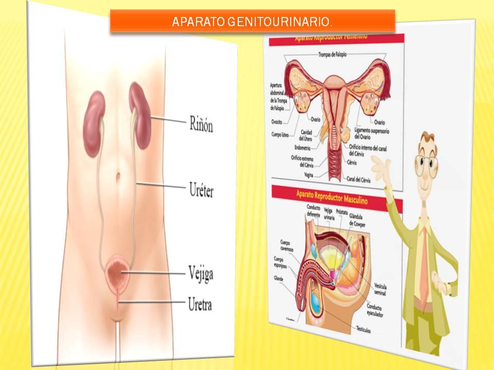 Anatomía y Fisiología humana: Aparato Genitourinario.