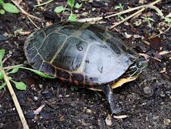 Muskrat Pond Turtle