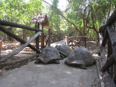 Giant-Tortoises-Prison-Island-Zanzibar-Tanzania-Africa-tour-holiday