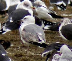 Gaviota Cspica Larus cachinnans de 2 invierno en el vertedero de Pinto