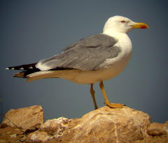Gaviota Patiamarilla adulta, en la planta de compostaje de FERVASA, Valencia