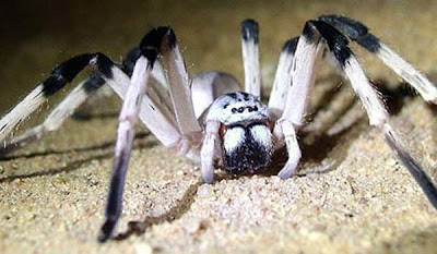 superaraña Descubierta una araña gigante