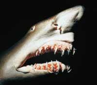 tibrtigre Surfista sigue en activo después de que un tiburón le amputara un brazo