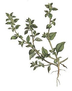 Кучешка лобода / Chenopodium vulvaria
