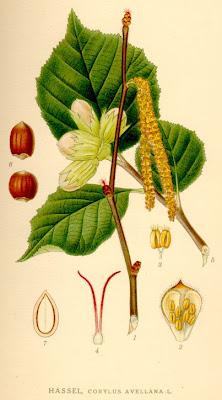 Леска, лешник / Coryllus avellana