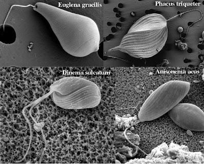 Flagelo bacteriano in situ: Darwin não explica a origem e nem a evolução disso!!!  Flagelo+bacteriano+12