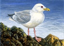 thayers gull ACEO painting by Shari Erickson