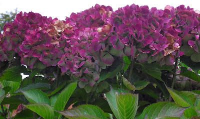 October hydrangea flowers