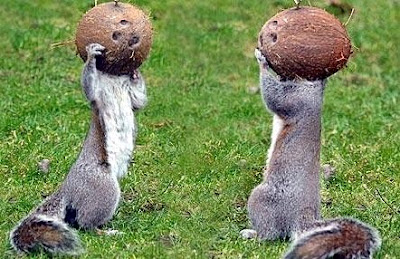 Squirrel food: coconuts