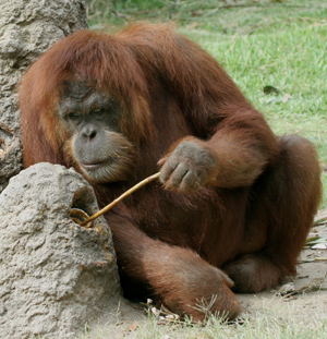 Orangutan trying a tool. I've had a Brainwave!