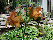 """Kwanso"" Double Orange Daylilies"