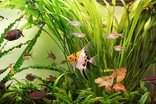 Ryb akwariowych
