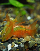 Ryba akwariowa Brzanka Różowa