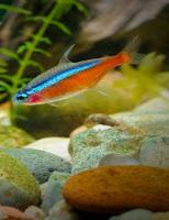 Ryby akwariowe Neon czerwony