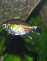 Ryby akwariowe Zwinnik Costello