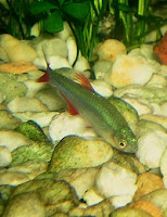 Ryba akwariowa Żwawik Czerwieniak