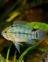 Ryby akwariowe Pielęgniczka żółta