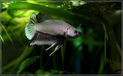 jli3c - ryby akwariowe