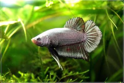 jli8 - ryby akwariowe