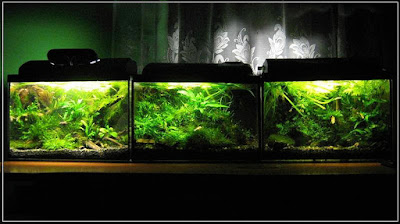 Ryby akwariowe - erty251