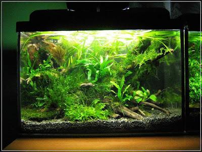 Ryby akwariowe - 11488744