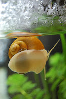 Ryby akwariowe - Plaga ślimaków w akwarium z rybami akwariowymi