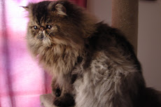 Male Brown Mctabby Breeder quality  DOB 4/27/2008