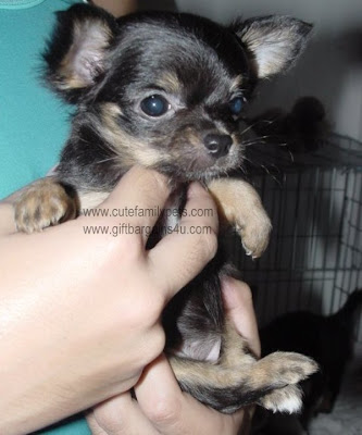 long haired chihuahua pictures. long haired chihuahua black
