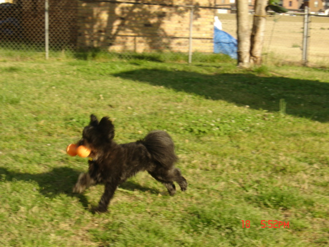 a black dog running across a yard, with a big yellow toy in his mouth