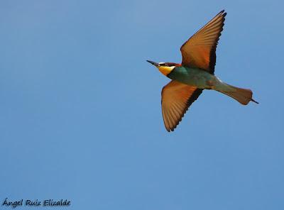 Abejaruco común (Merops apiaster)